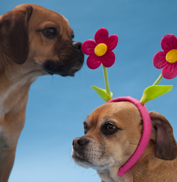 Is That a Puggle? Spring Edition! | picklesnhoney.com #isthatapuggle